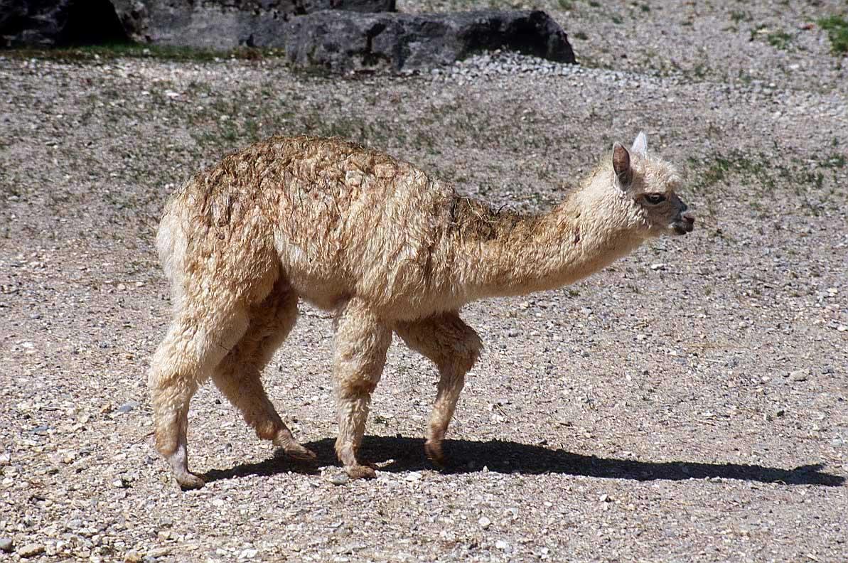 طيور وحيوانات بريه Alpaca_animal_photo_2