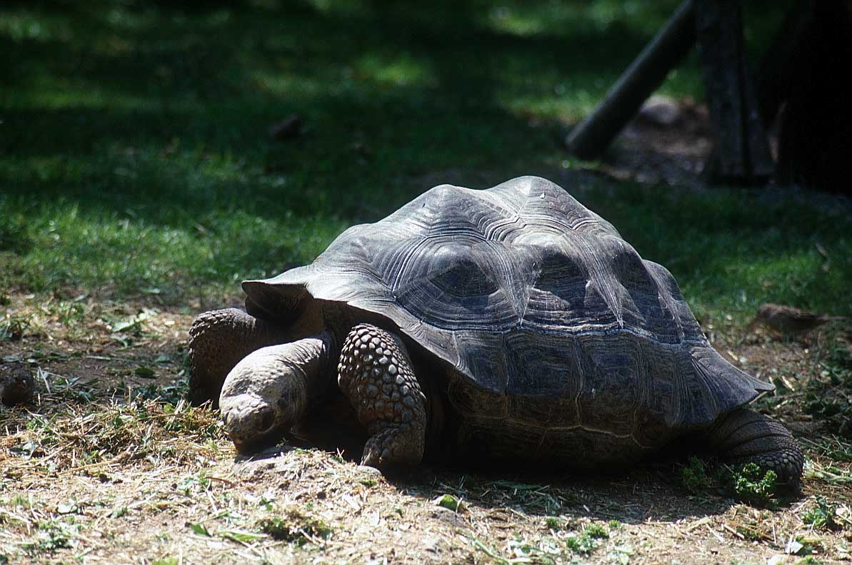 http://www.bigfoto.com/sites/galery/animals/giant_tortoise_photos_animals.jpg