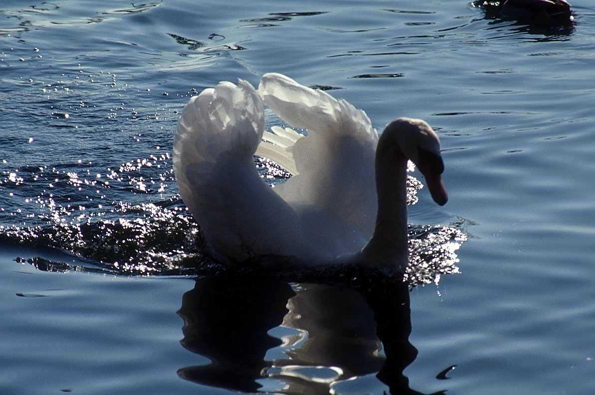 bonne nuit dans image bon nuit, jour, dimanche etc. swan_animal_picture_x4