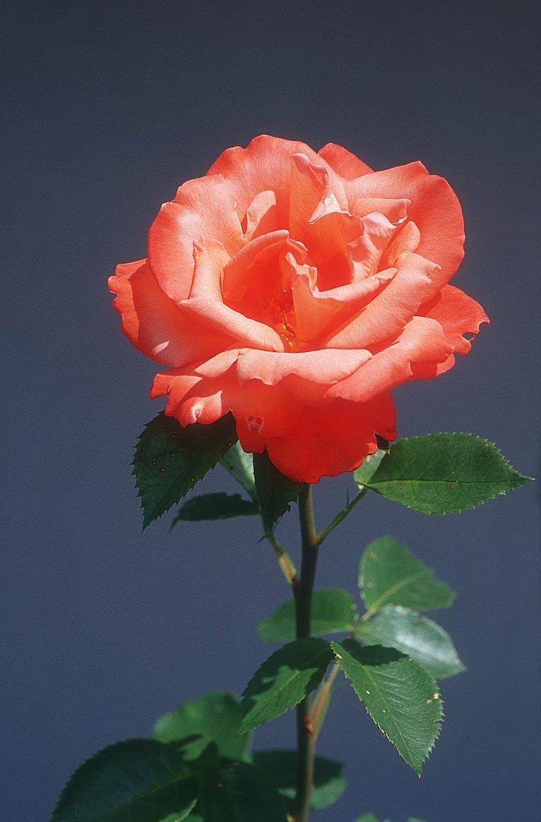 flower-rose_5xv