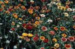 flowers-8ih6.jpg (247654 Byte) picture flowers