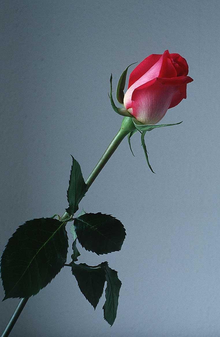rose flower g2