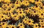 yellow-flowers-l9w.jpg (239219 Byte) flowers photos