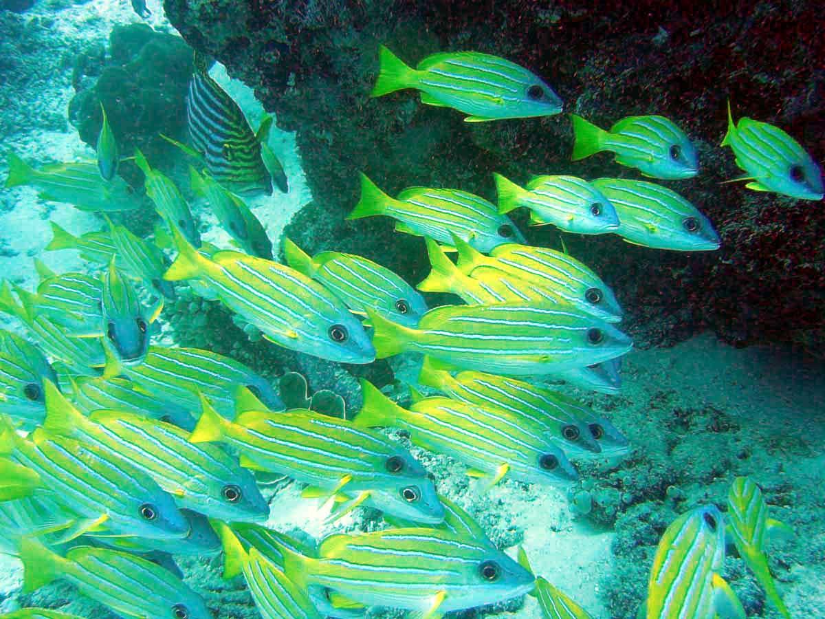 En masse flotte gule fisk - Thailand