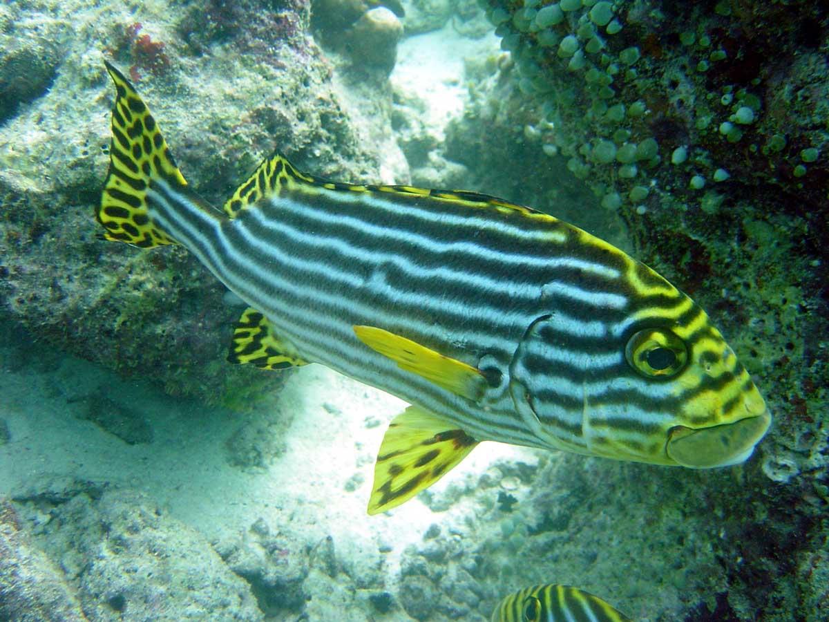 Flot stribbet gul fisk - Maldiverne