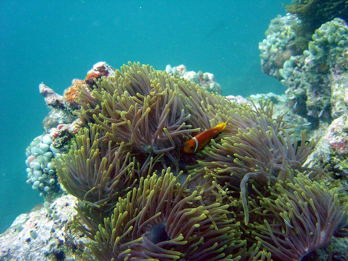 Klovnfisk i søanemone, Thailand