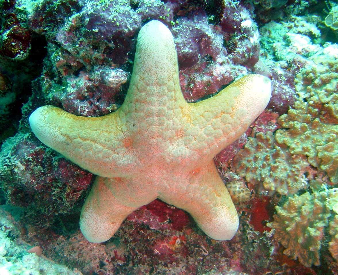 in questo periodo sono a caccia di cose belle, ho trovato questa stella marina, credo si chiami così dans underwater 15-underwater