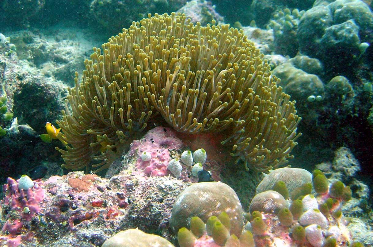 En flot søanemone - Thailand