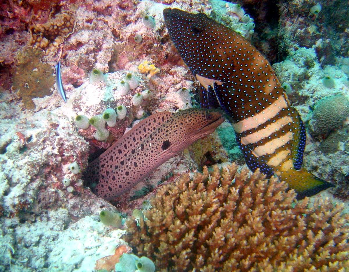 Muræne og en anden fisk - Maldiverne