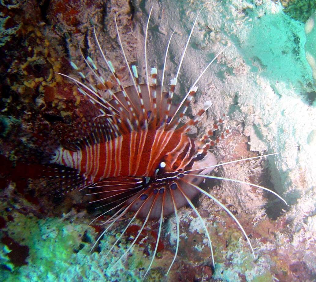 Flot dragefisk - Maldiverne