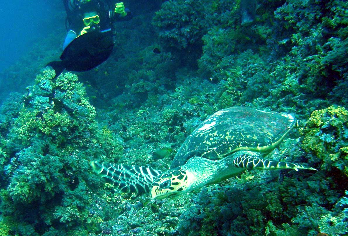 Havskildpadde på revet - Maldiverne