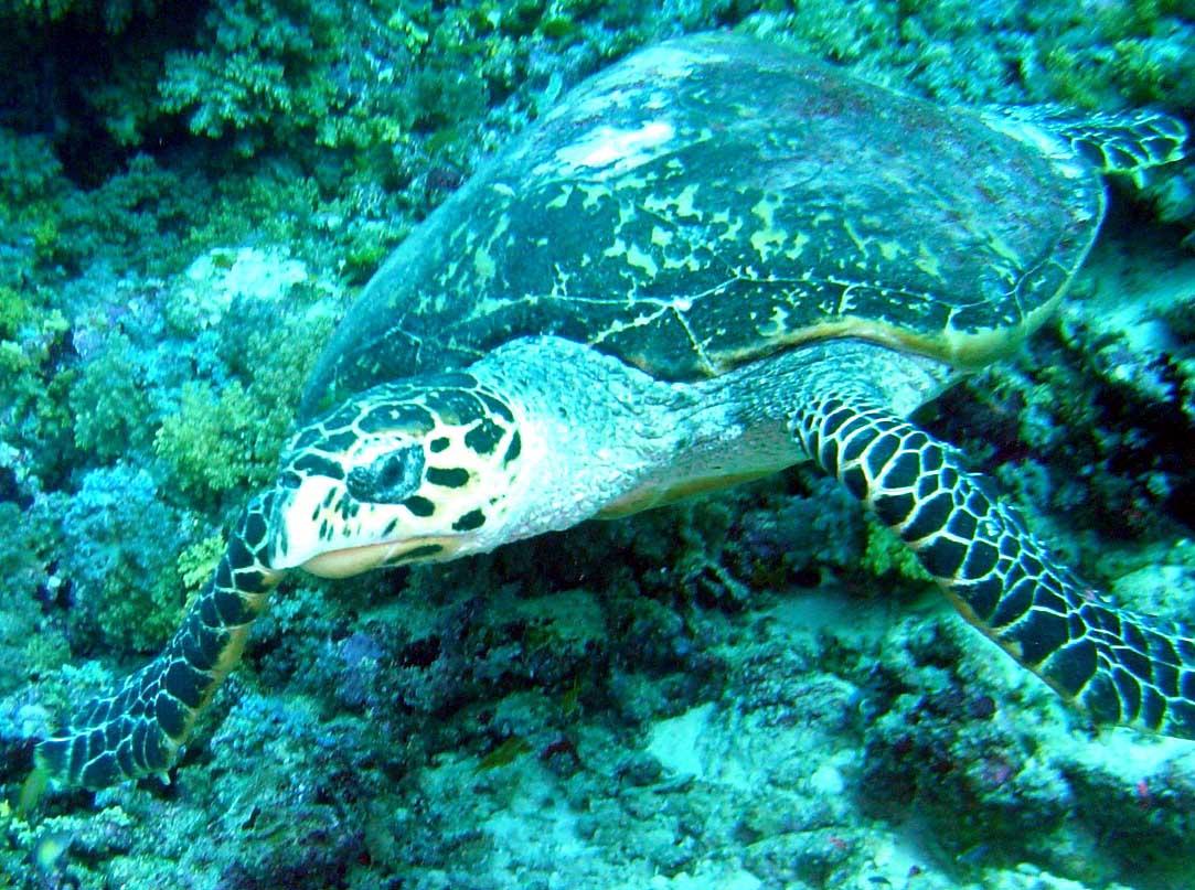 En havskildpadde helt tæt på - Maldiverne