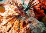 Dragefisk - Maldiverne