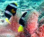 To sorte klovnfisk - Maldiverne