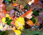 corals-52g.jpg (204217 Byte) underwater scuba diving