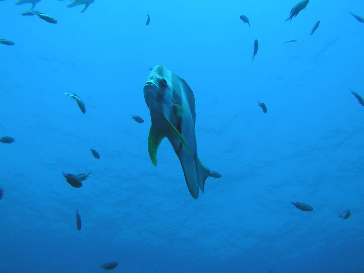 Flot flagermusfisk, Thailand