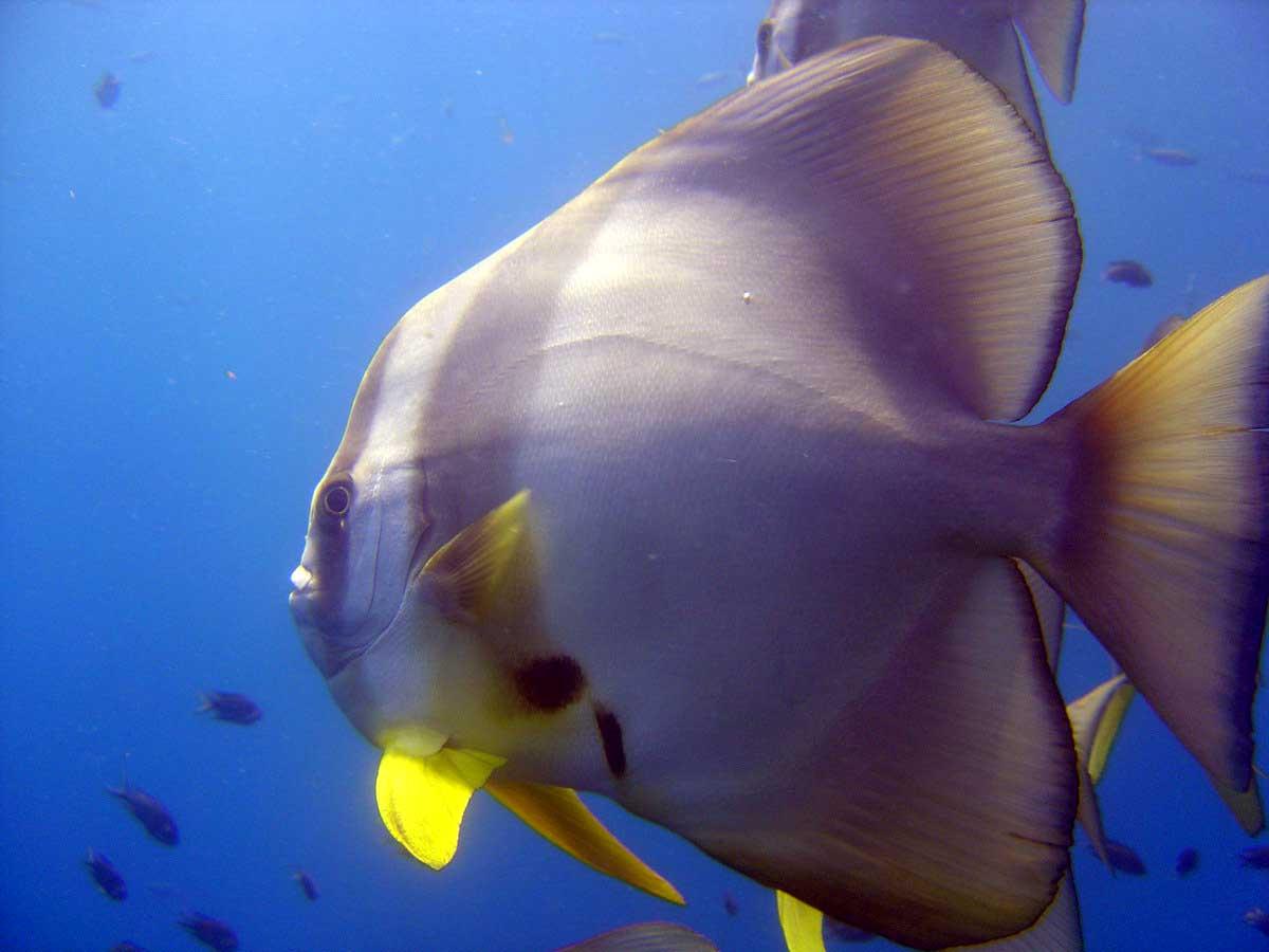 En flagermusfisk meget tæt på - Thailand