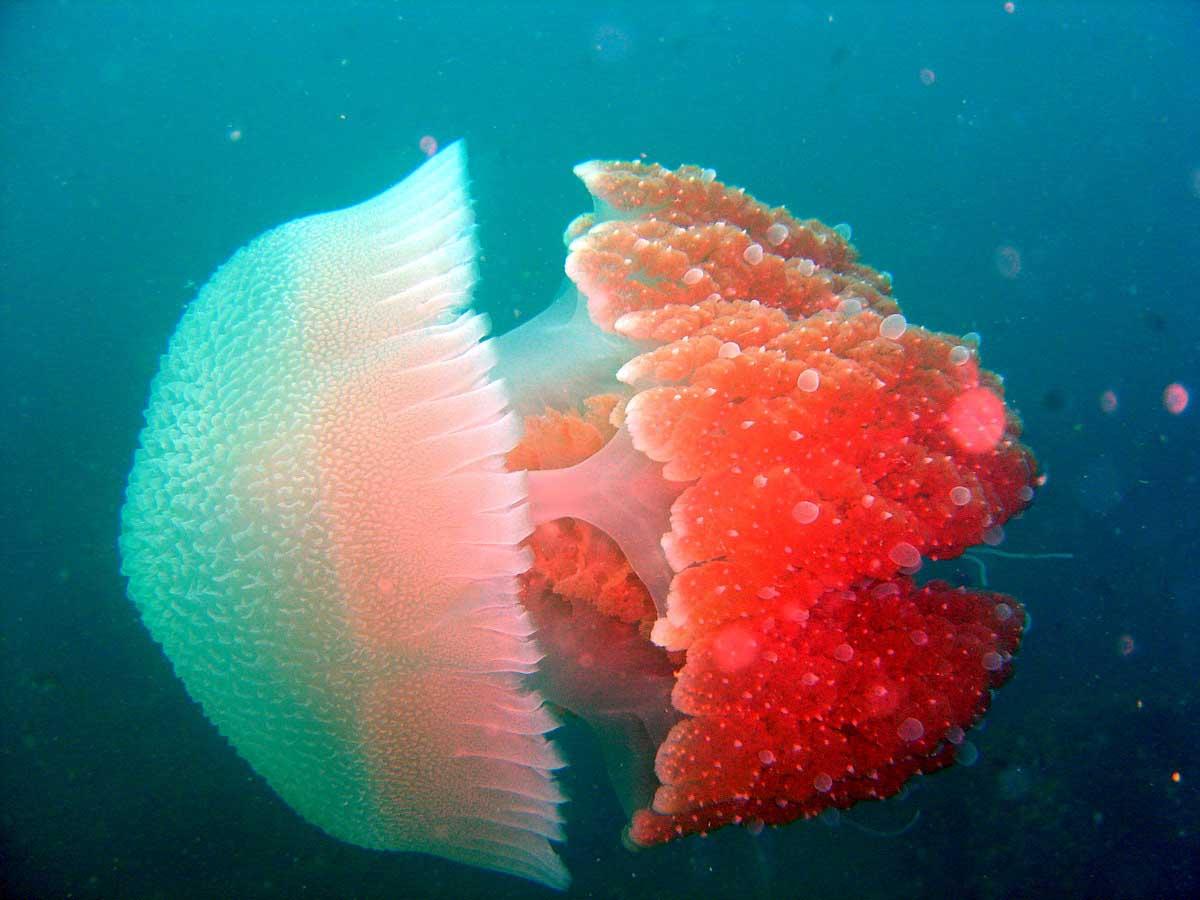 è una medusa...Jelly fish, forse l'ho già messa, ma ogni volta che vedo mi piace moltissimo, la trovo affascinante dans underwater jellyfish-ol3