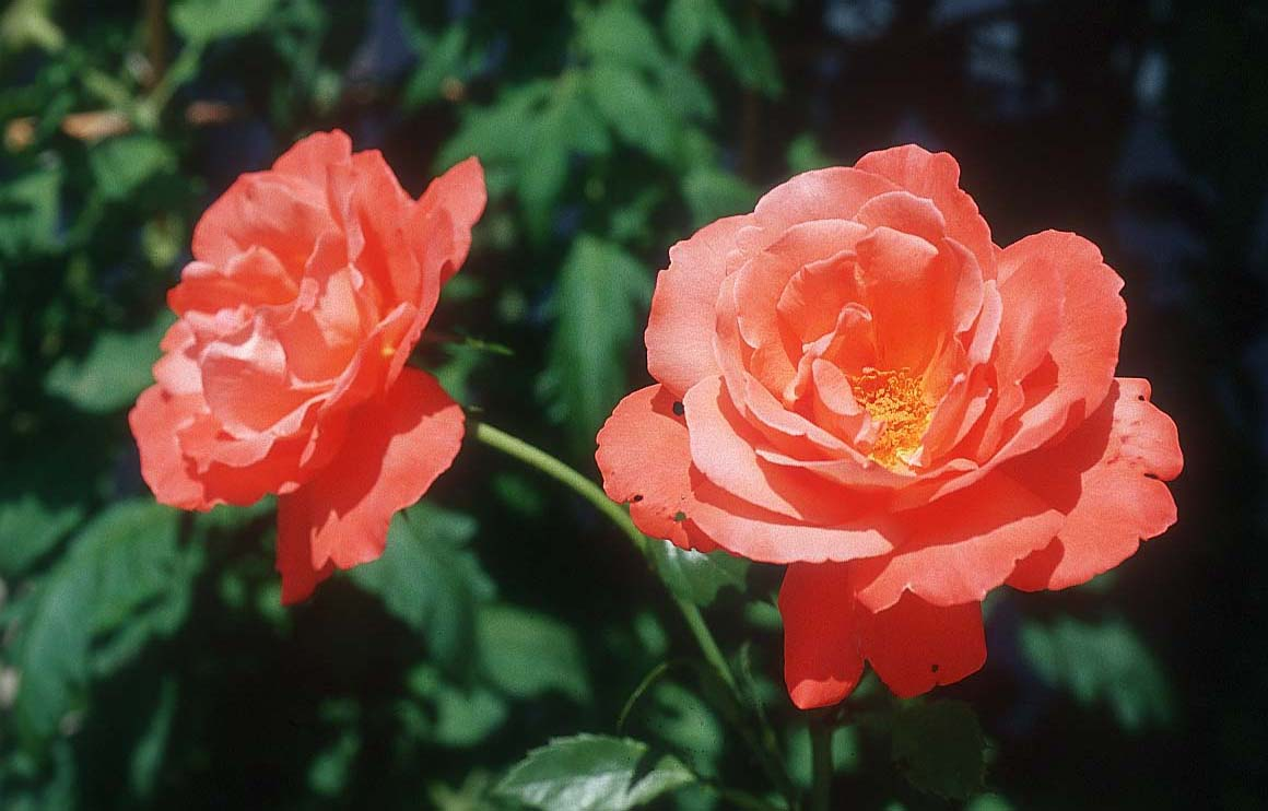 2 roses photo xs