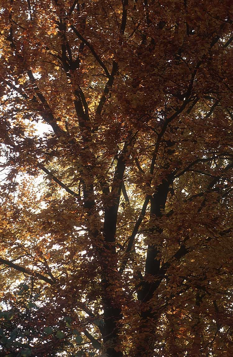 autumn tree lj6
